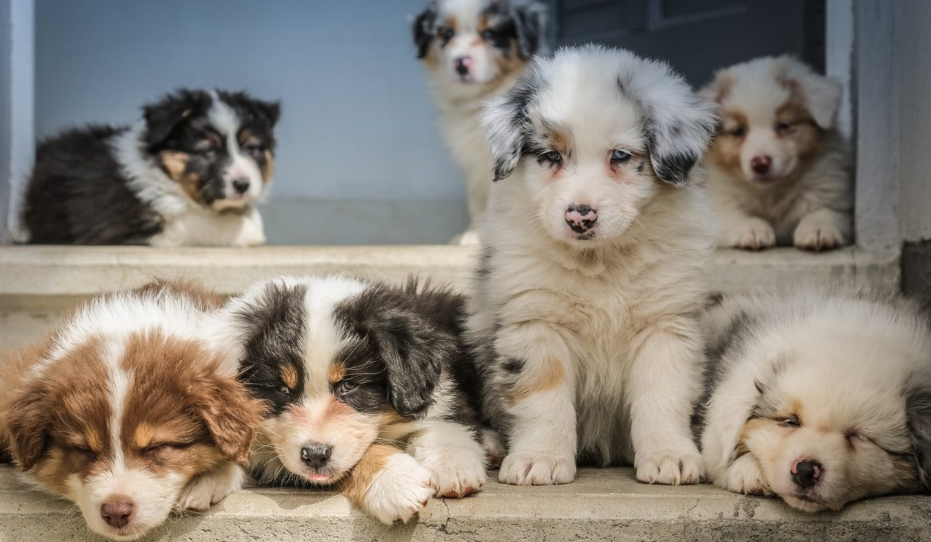 Why Do Puppies Get So Many Vaccines?